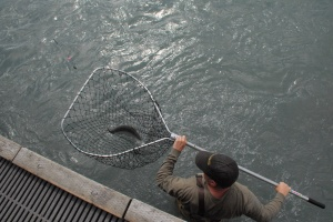 Kenai Fishing dip net fish
