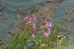 Fireweed in AK