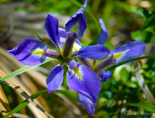Wild Florida Irises