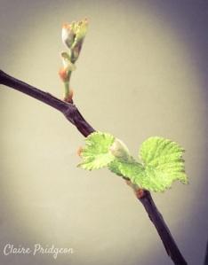 Grapevine bud