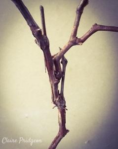 Grapevine dead